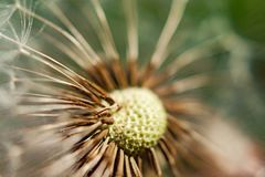 Single dandelion with some seeds blown away on green background Stock Photography