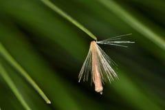 Single dandelion spore on a pine needle. stock photos