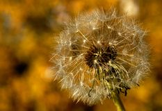 A single dandelion is ready to get blown by the wind and have its seed fly all around to spread more dandelions. royalty free stock image
