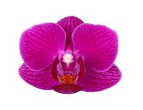 Flower of a purple Phalaenopsis orchid isolated royalty free stock image