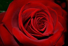 Single dark red rose in full bloom Stock Photography