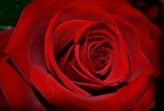 Single dark red rose in full bloom Stock Photography