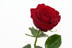 Single red rose on white background. Single dark red rose isolated on white background with copy space stock image