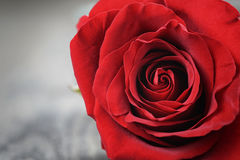 Single dark red rose on wood background Stock Photography