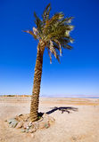 Single Date Palm. Against a clear blue sky Royalty Free Stock Photo