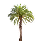 Single date palm tree isolated on white Stock Photos