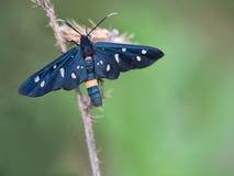 Single Day Moth on grass stalk, Phegea amata. Stock Images