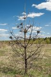 Single Dead Burnt Young Pine Tree. Stock Photo