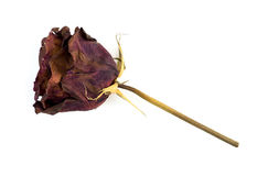 Single dead dried rose flower isolated on white Royalty Free Stock Photo