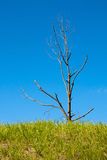 Single dead tree on blue sky Royalty Free Stock Photos