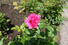 Single deep pink flower of rose stock photos
