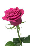 Single deep pink Purple Power rose. A beautiful cerise pink rose with focus on the centre of the rose stock images