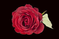 Single Deep Red Rose on Black Background Royalty Free Stock Photography