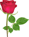 Single deep red rose flower isolated on white Royalty Free Stock Image
