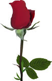 Single deep red rose flower on white Royalty Free Stock Photo