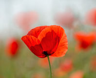 Single delicate poppy on a summer day. D delicate poppy on a summer day royalty free stock photography