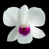Single dendrobium orchid white purple Royalty Free Stock Image