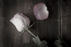 Single Desaturated Rose and One Petal Royalty Free Stock Photography