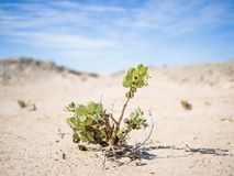 Single desert adapted plant growing in Namib desert at Namib-Naukluft National Park, Namibia, Africa.  royalty free stock photography