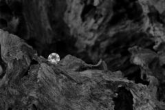 The Root to One`s Heart. A Single Diamond on a Dried Tree Root, Showing the Facet Cut of the Gem Stone with the Harsh Texture of the Old Carbon Material stock photo