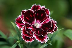 A single Dianthus flower. royalty free stock photo
