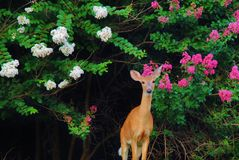 Single doe between two crepe myrtles. Single doe seems to stop and pose between pink and white crepe myrtle trees Royalty Free Stock Image