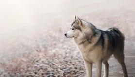 Single dog animal Husky breed standing at Stock Photo