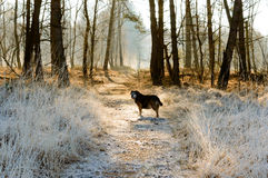 Single dog waiting ahead in path covered by frost. With forest of bare trees in background Stock Images