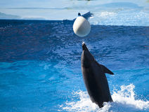 Single dolphin playing with ball in water. Dolphin playing with white ball in water Stock Photos