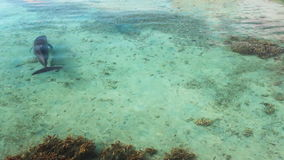 Single dolphin swimming over coral reef. Single dolphin swimming over tropical coral reef stock video