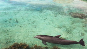 Single dolphin swimming over coral reef. Single dolphin swimming over tropical coral reef stock video footage