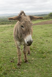 Single donkey Stock Photography