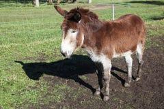 Single donkey Stock Photo