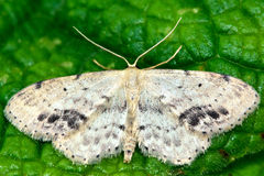 Single-dotted wave moth (Idaea dimidiata) Royalty Free Stock Image