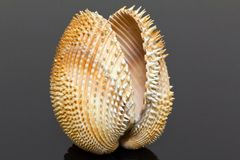 Single double seashell of bivalvia isolated on black background Royalty Free Stock Image