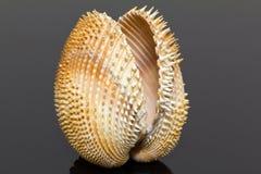 Single double seashell of bivalvia isolated on black background Royalty Free Stock Image