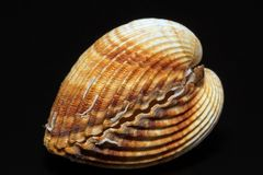 Single double seashell of bivalvia isolated on black background Stock Photo