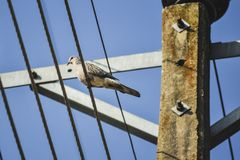 Single dove bird on electrical wires. Single dove bird sitting on telecommunication wires Stock Photo