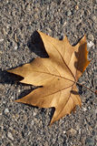 Single dried brown autumn leaf on road. Dried brown autumn leaf on black asphalt Stock Photography