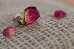 Single Dried Red Rose with Petals on each Side of Rose Stock Images