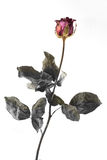 Single dried rose isolated on white Stock Photo