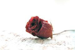 A single dried rose over a white background Royalty Free Stock Images