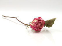 Single Dried Rose Stock Photography