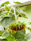 Single drooping and wilted sunflower. Close-up view of single drooping and wilted sunflower Royalty Free Stock Photo
