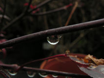 Single drop on a branch Royalty Free Stock Images