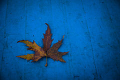 Single dry leaf. On a blue background Royalty Free Stock Photos