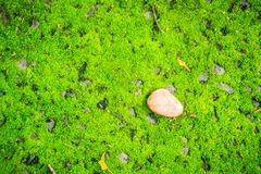 Single dry leave fallen on green mossy background. Art of nature. With green moss on the ground decorated by brown dried leave. One dry leave on the freshness Royalty Free Stock Photo