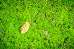 Single dry leave fallen on green mossy background. Art of nature. With green moss on the ground decorated by brown dried leave. One dry leave on the freshness Royalty Free Stock Photos
