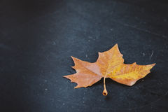 Single dry maple leaf Royalty Free Stock Photos