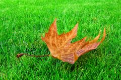 Single Dry Maple Leaf on Bright Grass Stock Photos
